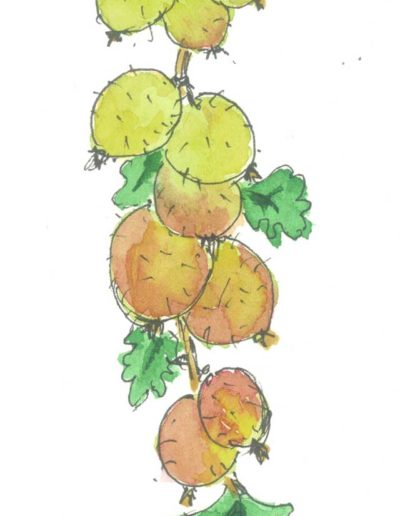 Original gooseberry illustration by Jennifer Fraser for Highfield Preserves