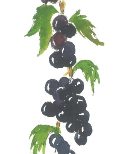 Original Blackcurrants illustration by Jennifer Fraser for Highfield Preserves
