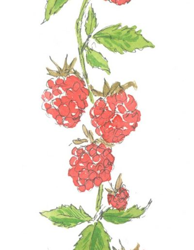 Original raspberries illustration by Jennifer Fraser for Highfield Preserves
